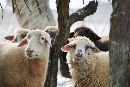sheep-585792